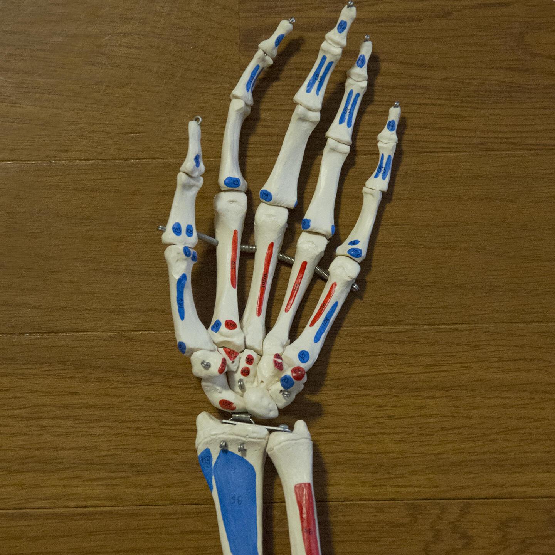 左の手のひら側からみた骨格模型