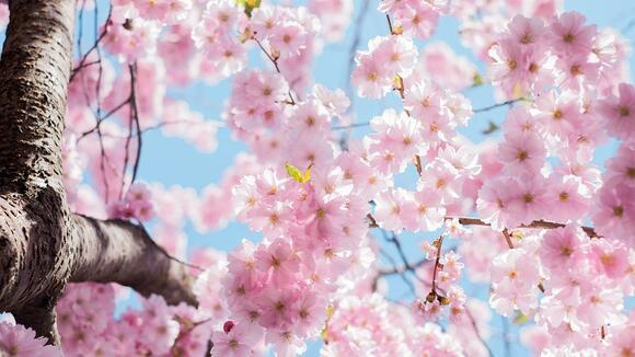 お花見の盛り上げ方、桜ソングまとめ